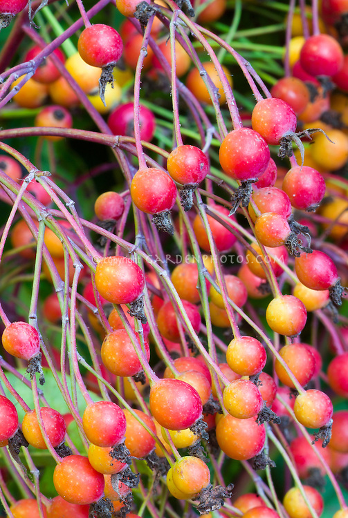 Rosa filipes 'Kiftsgate' x Rosa glauca rosehips fruits