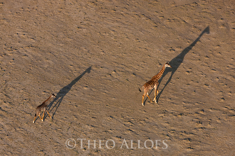 Kenya, Rift Valley,  giraffes walking shore of Lake Magadi