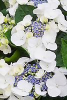 Hydrangea macrophylla Teller Series (white) Lacecap Hydrangea type in flower