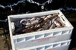 Fresh fish in plastic box, Scarborough, Yorkshire, England