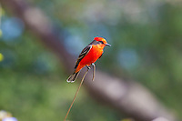 Vermilion Flycatcher, Lago Chapala, Mexico