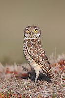 Burrowing Owl (Athene cunicularia) standing near its burrow