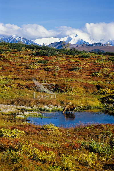 Cow moose with Alaska Range in background.  Denali National Park, Alaska