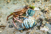 Atlantic Rock Crab, Cancer irroratus, Gloucester, Massachusetts, USA, Atlantic Ocean. scavenging on a dead Green crab.
