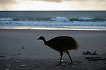 Cassowary dad and year-old chick walking the beach. Dad shows by actions and his chick follows. Southern cassowary (Casuarius casuarius) also known as double-wattled cassowary, Australian cassowary or two-wattled cassowary.