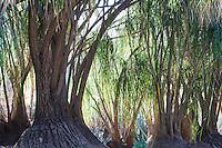 Beaucarnea recurvata: ponytail palm, bottle palm, nolina, elephant-foot tree. Family: Agavaceae (agave Family)