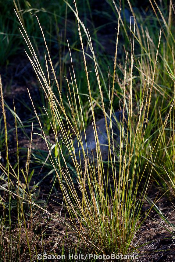 Stipa occidentalis v. californica, California Needle Grass, native grass in Sierra meadow