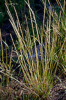 Stipa occidentalis v. californica, California Needle Grass, native grass in Sierra meadow
