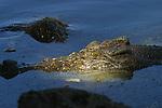 Crocodile (crocodylus porosus),en milieu naturel dans le parc national de Kakadu.Crocodiles Darwin australie