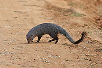 Mongoose (Herpestidae) Yala National Park, Sri Lanka