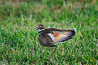 Killdeer (Charadrius vociferus) exhibits broken-wing distraction display, anti-predator behavior to focus attention away from nearby young. Lake Erie. Ottawa NWR, Ohio, U.S.A.