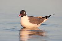 Laughing Gull (Larus atricilla) bathing