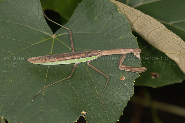 Chinese Praying Mantis (Tenodera aridifolia sinensis) on a leaf