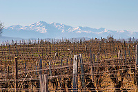 Chateau Rives-Blanques. Limoux. Languedoc. Chardonnay grape vine variety. France. Europe. Vineyard. Mountains in the background.