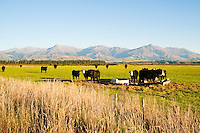 Cows in Fiordland, on the Drive from Queenstown to Milford Sound, South Island, New Zealand. The drive from Queenstown to Milford Sound is stunning, passing beautiful countryside and impressive mountains.