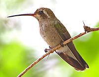 Adult female broad-billed hummingbird