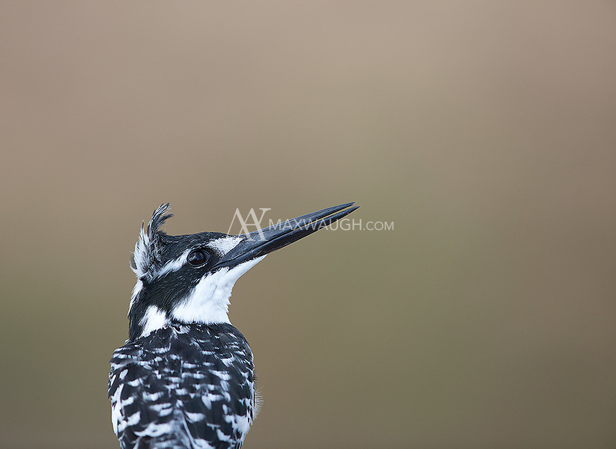 The Pied kingfisher is probably the most cooperative kingfisher species I've ever photographed.