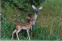 Courtesy photo/TERRY STANFILL<br /> Doe and fawn.