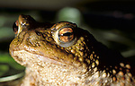 Portrait Common Toad, Bufo Bufo, pond, water, close up of eyes and mouth. .United Kingdom....