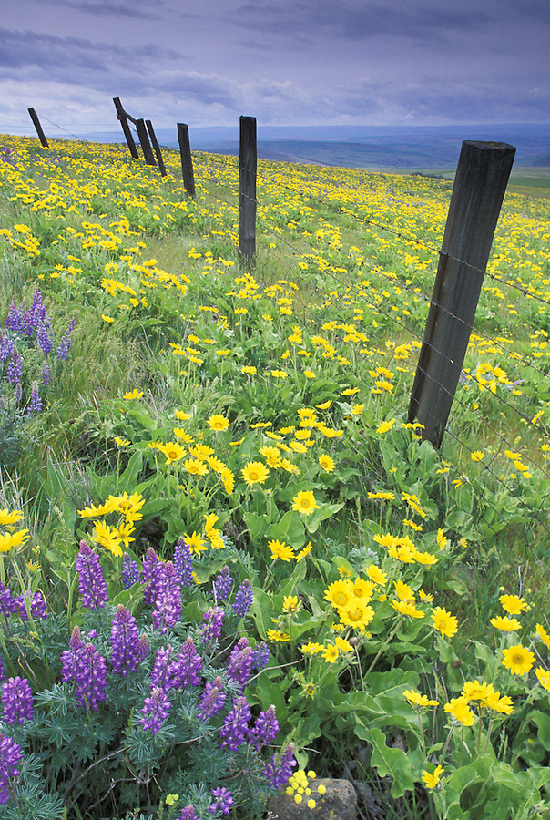 Fence through lupine and balsamroot, Dalles Mountain Ranch State Park, Columbia River Gorge National Scenic Area, Washington