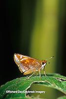 03738-00109 Zabulon Skipper butterfly (Poanes zabulon) female Marion Co.  IL