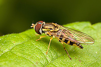 Flower Fly (Toxomerus geminatus) - Female, West Harrison, Westchester County, New York