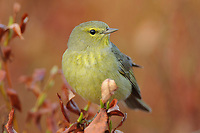 Adult Orange-crowned Warbler (Vermivora celata) of teh subspecies V. c. celata. Seward Peninsula, Alaska. June.
