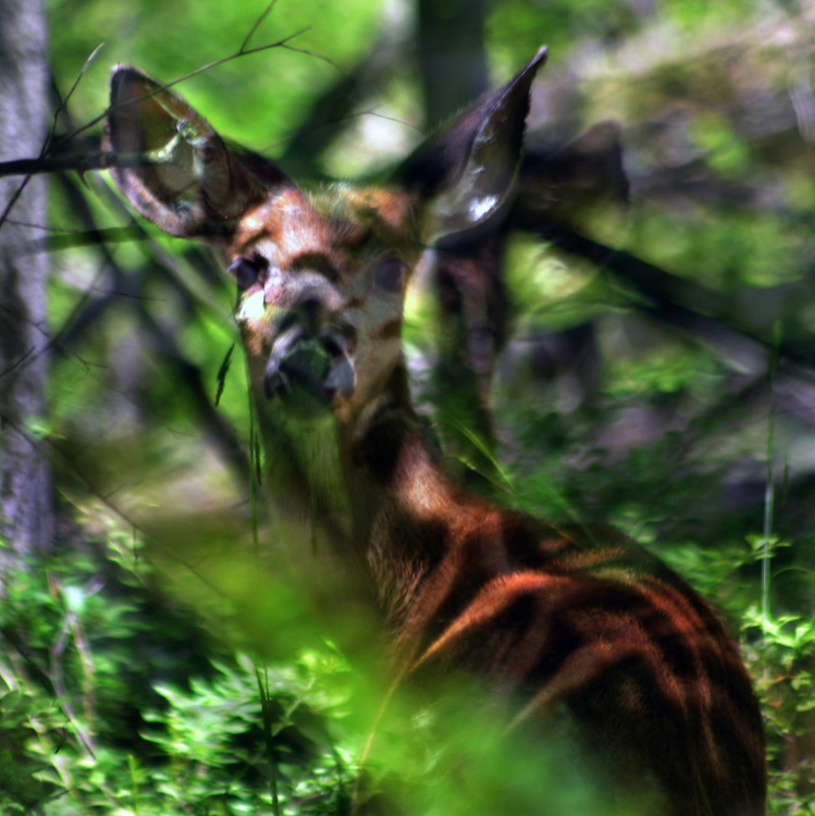 Deer seen in the Esopus Bends Nature Preserve on Wednesday, May 31, 2017. Photo by Jim Peppler. Copyright/Jim Peppler-2017.