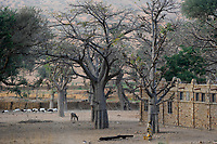 MALI,  Bandiagara, Dogonland, habitat of the ethnic group Dogon, Dogon village with Baobab trees