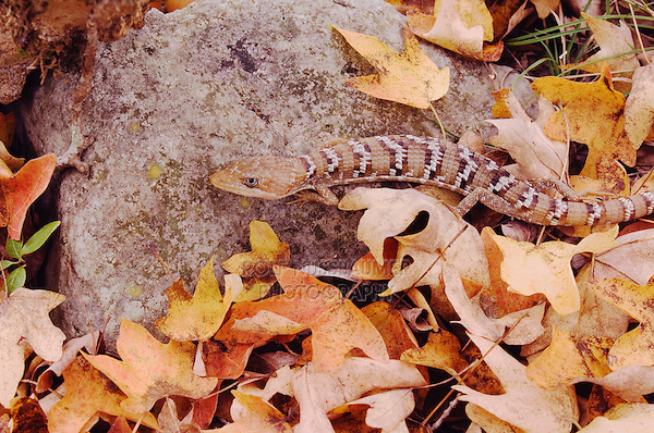 Texas Alligator Lizard, Gerrhonotus infernalis, adult in leaf litter of Bigtooth Maple(Acer grandidentatum), Lost Maples State Park, Texas, USA, November 2005