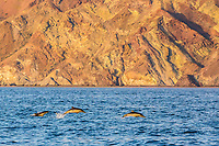 long-beaked common dolphin, Delphinus capensis, pod, jumping, Isla Angel de la Guarda, Baja California, Mexico, Gulf of California, Sea of Cortez, Pacific Ocean