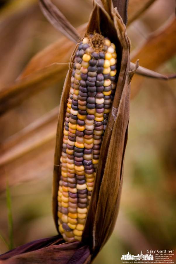 Multi-colored Indian corn sit on the stalk almost ready for harvest for Thanksgiving.<br />