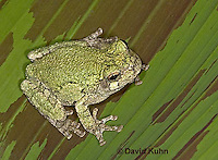 "0917-07nn  Gray Tree Frog - Hyla versicolor ""Virginia"" © David Kuhn/Dwight Kuhn Photography"
