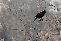 A male Red-winged Blackbird calls out during a sunny morning in southern Oregon.