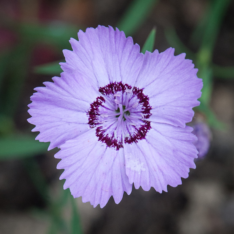 Dianthus amurensis, mid August. A spreading mat-forming pink with single flat mauve flowers in late summer.  Each flower has five petals with serrated edges and a maroon stripe around the centre.