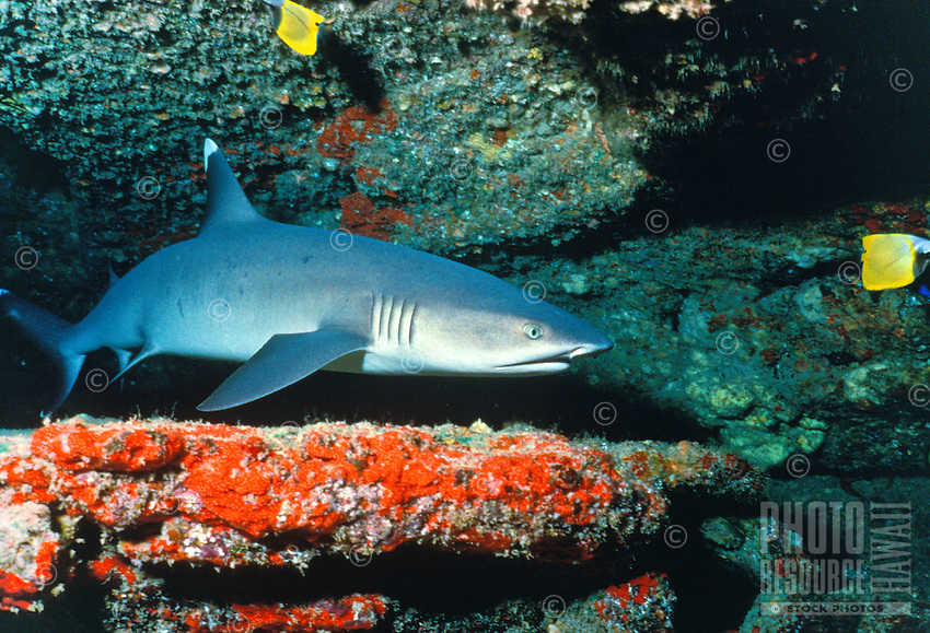 The Whitetip Reef Shark (Triaenodon obesus). Typically an ungressive shark often found resting during the day under ledges and in caves. A commonly seen shark in hawaiian waters.   It's hawaiian name is mano-lala-kea