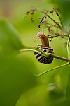 Snail climbing in lilac bush stretching out to limb above
