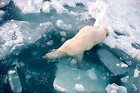 A Polar Bear slips silently into the water off an ice floe in Spitsbergen., polar bear, Ursus maritimus
