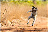 BNPS.co.uk (01202 558833)<br /> Pic: AlisonButtigieg/BNPS<br /> <br /> ***Pleae Use Full Byline***<br /> <br /> A 'dancing' Verreaux Sifaka, who habitats in Madagascar.<br /> <br /> With video. <br /> <br /> verreaux's sifaka<br /> <br /> This is the hilarious moment a group of lemurs scrambled down a tree and burst into a fantastic dance display.<br /> <br /> The primates had been eating berries from the top of the tall bark when they decided to cross a dirt road to a cluster of other trees.<br /> <br /> As they landed on the ground each one burst into an array of impressive dance moves, including twirls, jumps, spins and stretches.<br /> <br /> They boogied their way across the track without stopping and even performed a few acrobatic stunts.<br /> <br /> The elaborate routine only stopped when they reached another trunk and scrambled up to the top.<br /> <br /> The whole thing was captured on camera by Allison Buttigieg, who was watching the lemurs' antics with her boyfriend, Olli Teirila.<br /> <br /> The couple were enjoying a holiday on the island of Madagascar in the hope of photographing the dancing, made famous by the animated DreamWorks film.<br /> <br /> Allison, 34, from Helsinki in Finland, said: &quot;Part of the reason I wanted to go to Madagascar is because they have lemurs there that look like they are dancing.<br /> <br /> &quot;We went to a spot where there were a group of them up in the trees and waited for many hours for them to move.<br /> <br /> &quot;Normally they jump from tree to tree but they had to cross a dirt road, so we were waiting for them to do that.<br /> <br /> &quot;Eventually they came down from the trees and started doing their little dance.<br /> <br /> &quot;They are adapted to the trees and they can't crawl so this is why they do it.<br /> <br /> &quot;I had seen them doing it on documentaries before and I had always said I wanted to go and see them for myself and take photos.<br /> <br /> &quot;It was very amusing and looked so funny, taking pictures was hard because I couldn't help but stop and just look at them as they did it.<br /> <br /> &quot;I was ecstatic to get the photos as that was one of the main things I wanted to do, I was really happy.&quot;