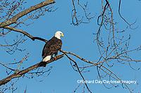 00807-03706 Bald Eagle (Haliaeetus lecocephalus) Clinton Co. IL