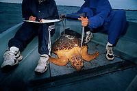 Students measure a Loggerhead Turtle, Caretta caretta, caught for tagging, University of Central Florida Program, Florida, USA, Gulf of Mexico, Atlantic Ocean