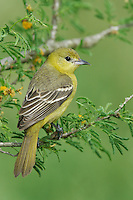 Orchard Oriole - Icterus spurius - adult female