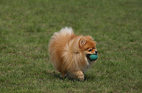Pomeranian Dog Fetching a Ball