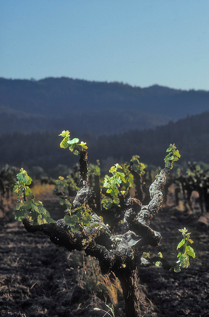 Spring in Calistoga vineyard