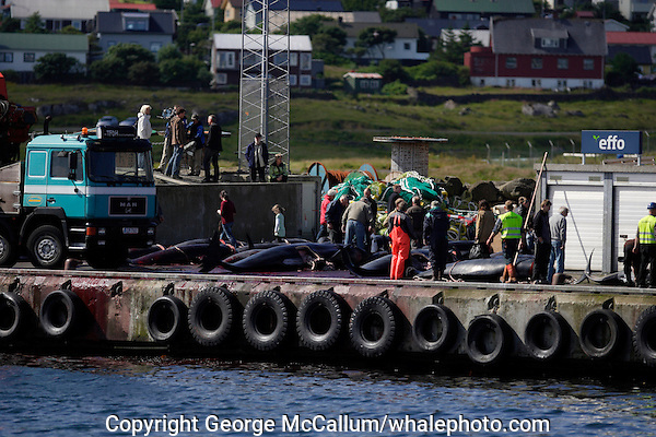 Whaling. Long-finned Pilot whales ( Globicephala melas ) Public looking at Carcasses from Grindadrap on harbour in Torshavn, Faroe Islands, North Atlantic