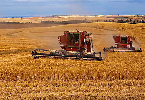Two red combines cutting a wheat field during harvest in the Palouse region of WA.