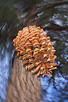 Pinecone falling from a pine tree