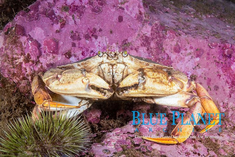 Atlantic Rock Crab, Cancer irroratus, Eastport, Maine, USA, Atlantic Ocean,