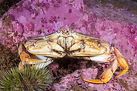 Atlantic Rock Crab, Cancer irroratus, Eastport, Maine, USA, Atlantic Ocean,