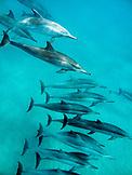 USA, Hawaii, Lana'i, a pod of spinner dolphin swimming at Manele Bay